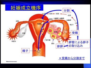 妊娠成立機序